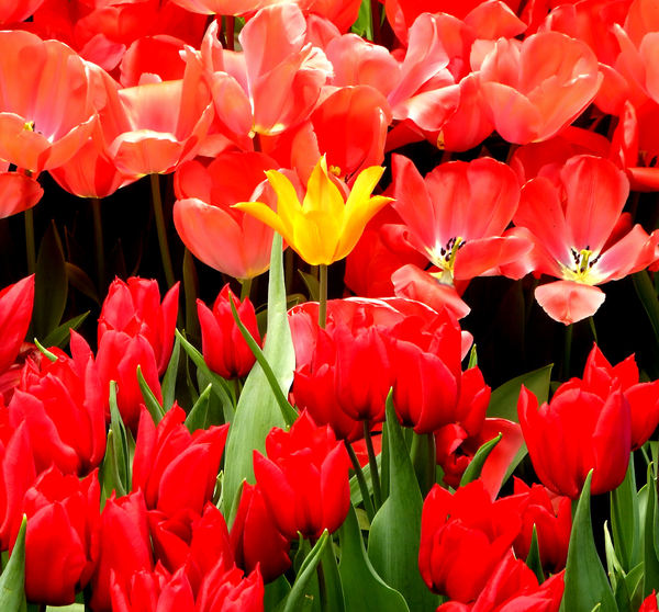 flower dome tulip display41