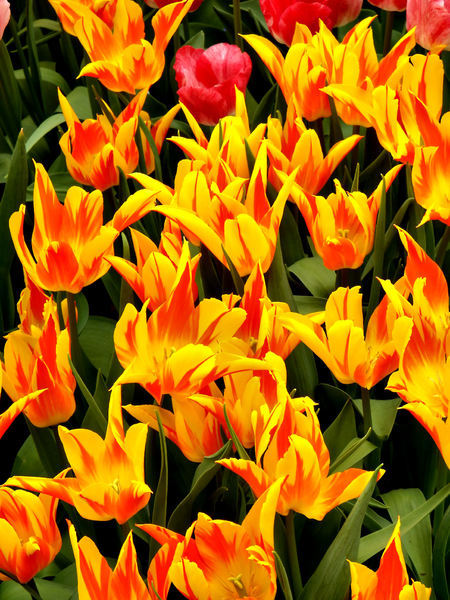 flower dome tulip display42