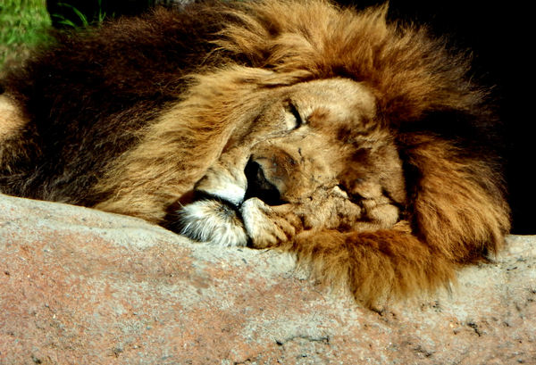 sleepyhead1: male lion resting in his enclosure