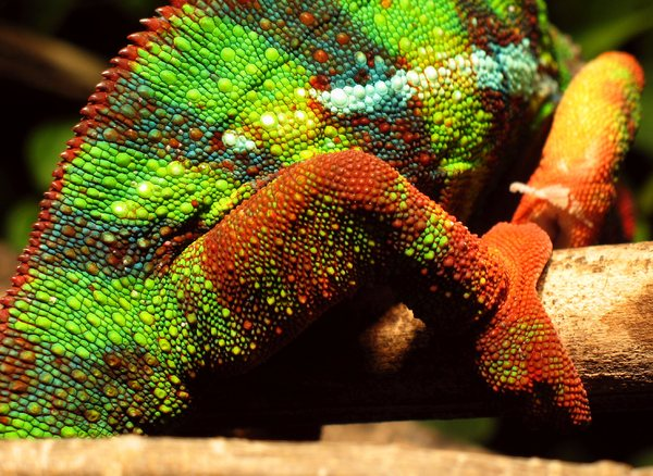 Chameleon-Tiles: Details of a chameleon watching me watching you...