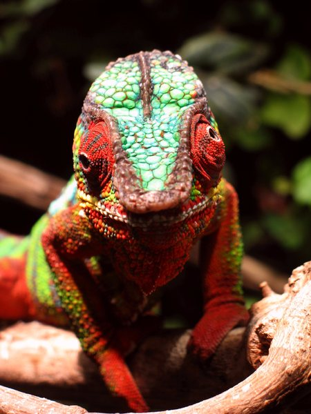 Chameleon-Eyes: Details of a chameleon watching me watching you...