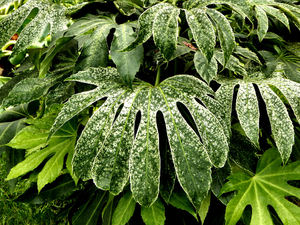 variegated greenery1: colourful variegated garden foliage display