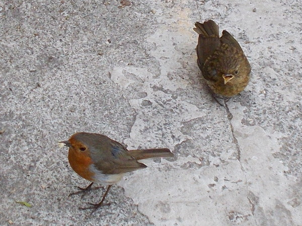 Robin with chick (juvinile)