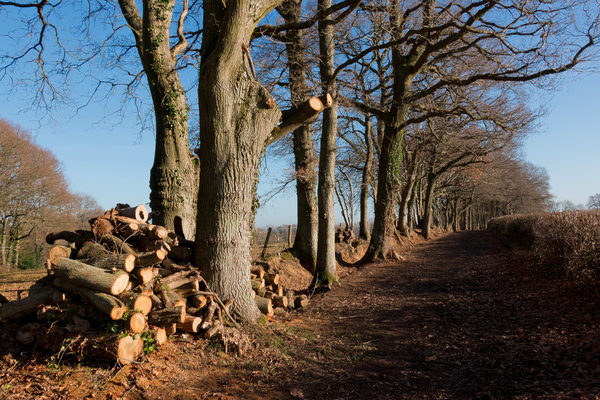 Tree management: Winter management of trees bordering a bridleway in West Sussex, England.