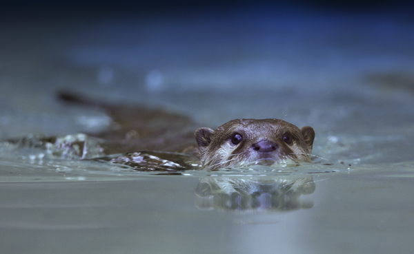 Otter swimming: Otter swimming in water towards camera, eyecontact
