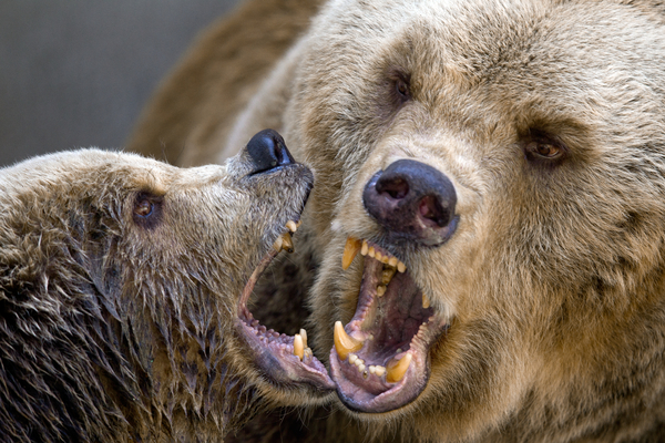 Two brown bears playing