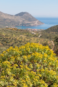 Euphorbia landscape: Landscape of southern Greece, with large wild Euphorbia bush.