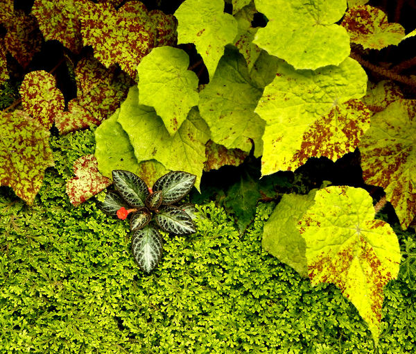 begonia backgrounds12: rich and varied colorful foliage of Begonia plants