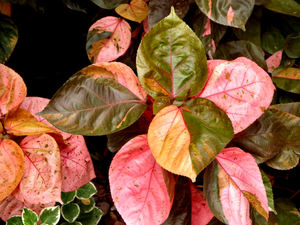 color foliage backgrounds2: autumn shades colorful garden shrub foliage background