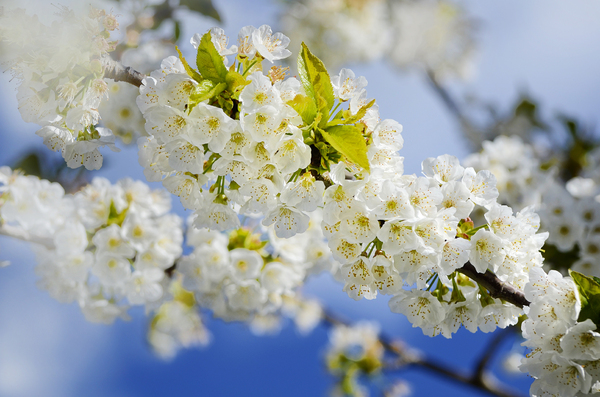 White blossoms: White spring blossoms against a blue sky