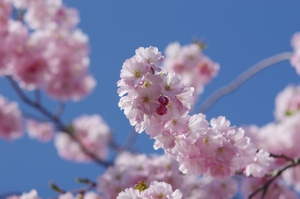 Sakura - cherry blossom: Sakura - cherry blossom with blue sky as background