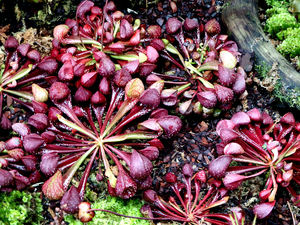 carnivorous plants13: Singaporean pitcher plant colours and varieties