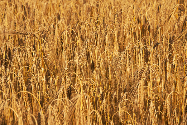 Golden Wheat 3: A ripened wheat crop ready to harvest.