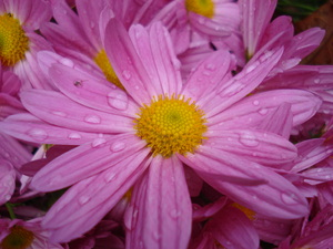 Pink Mums: Close up of Pink Mums with water droplets on them.