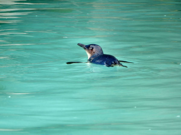 sleek & soaked: fairy penguin swimming in its zoo pool