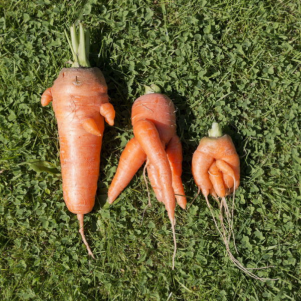 Ugly carrots: It's been a difficult year on my allotment...