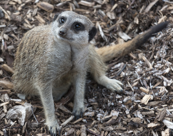 Meerkat: A meerkat in a zoo in England in which photography was freely permitted.