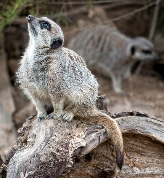 Meerkat: Meerkats (Suricata suricatta) in a zoo in England in which photography was freely permitted.