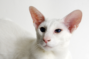 white cat: foreign white Siamese cat