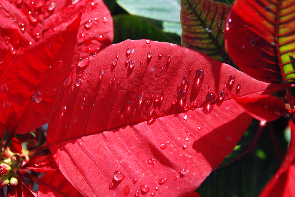 Christmas Gifts Red Poinsettia