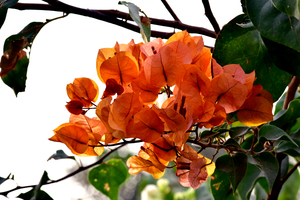 The Bougainvillae flowers