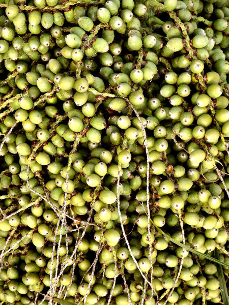 palm tree fruit bunch: bunch of productive palm tree green fruit