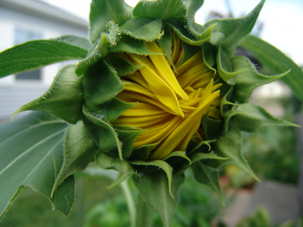 Sunflower Bud Flower Emerging