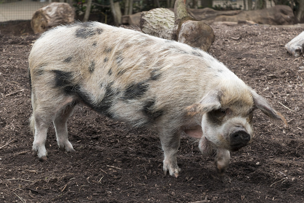 Pig: A Kunekune pig (Sus scrofa domesticus) from New Zealand in a zoo at which photography was freely permitted.