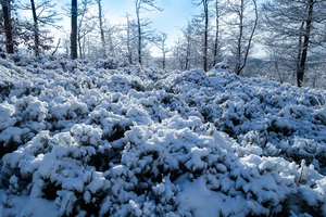 snow-covered trees and bushes