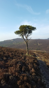 Lonely Tree: A single pine tree on a lonely Scottish hillside, surrounded by heather