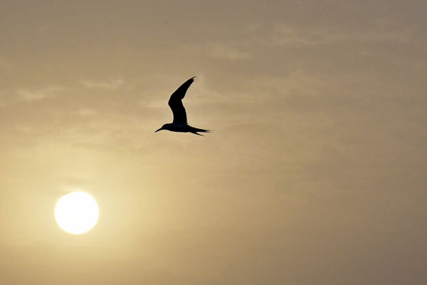 Sea Bird in flight at Sunrise: Sea bird is flying at Sunrise in the sky