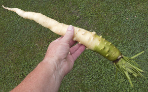Belgian white carrot: A large carrot variety from Belgium that lacks the typical orange coloration.