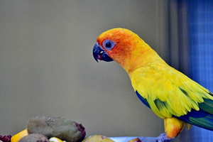 The Sun Parakeet or Sun Conure
