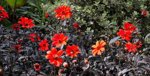 Autumn flowers: Orange perennial dahlia flowers with chocolate foliage in autumn in a garden in Kent, England.