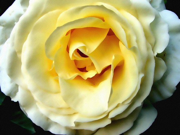 painted garden gold1p: painting of gold centred white rose