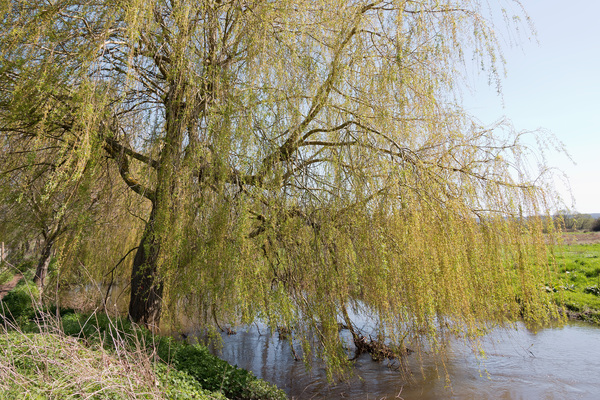 Riverside willow tree
