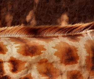 fringed camouflage1: stretched neck of leaf browsing rothschild's giraffe in zoo