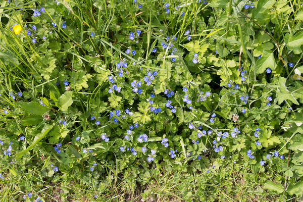 Wild flowers background: Germander speedwell (Veronica chamaedrys) growing wild in Cornwall, England, in spring.