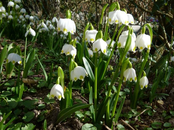 Snowdrops 'Arrival of Spring' : First Greetings of Spring.