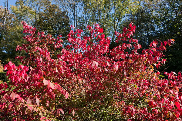 Autumn colour: Autumn colour in a garden in Sussex, England.