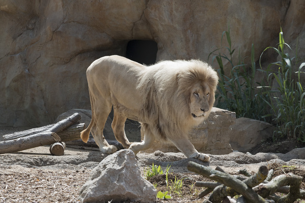 White lion: A male white lion (Southern African lion, Panthera leo melanochaita, with leucism) in a zoo in England. Photography was freely permitted.