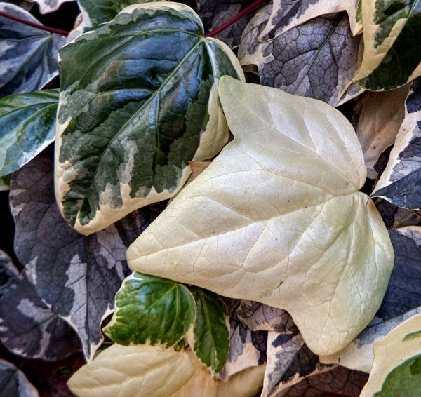 white ivy leaves1