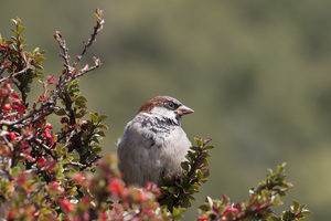 Sparrow: A male house sparrow (Passer domesticus) in England.