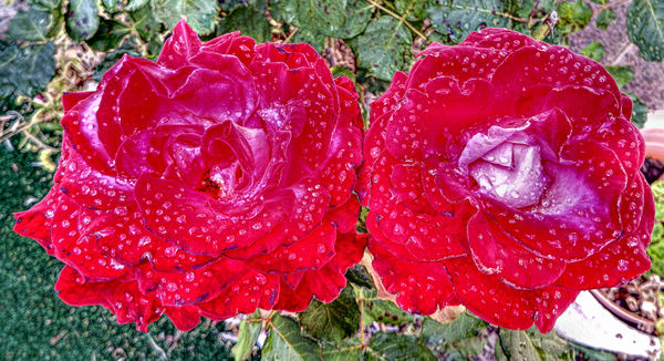 red rose raindrops1