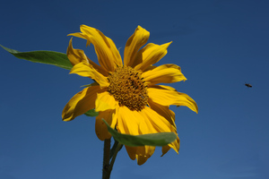 Sunflower: Yellow sunflower in front of blue sky.