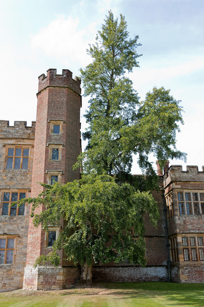 Tower and ginkgo: A ginkgo tree and tower at Penshurst Place, a stately home in Kent, England. Photography in these grounds wass freely permitted.