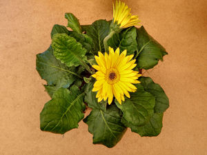 gold & green1: yellow daisy family green leaved flowering pot plant