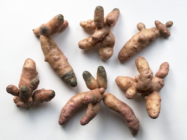 Weird potatoes: Pink Fir Apple potatoes, an old heritage variety, grown on my allotment in the UK.