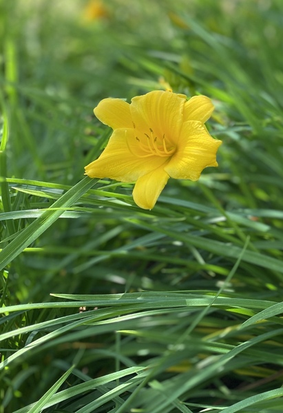 Stella d'Oro day lily: Single yellow day lily against background of green foliage