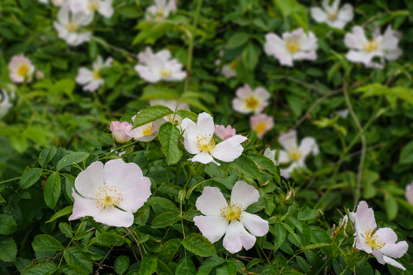 dog rose blossoms